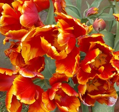 20150610202520-cathedral_tulips1