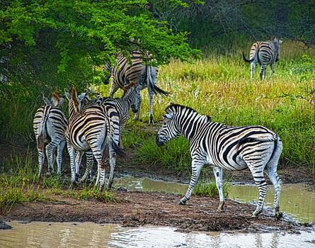 20150717161752-zebras