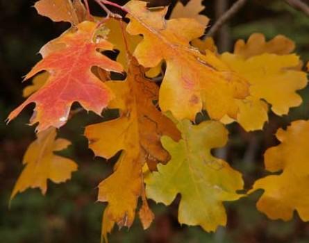 20150927203202-autumn_black_oak_by_slwalker
