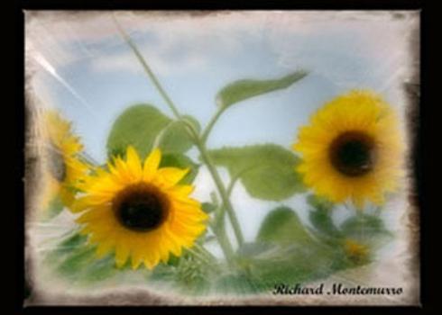 Sun_flowerssig_