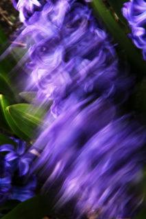 20151211132551-hyacinthus-1