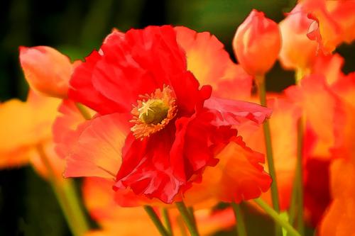 20160507190337-holly-gordon_-poppies