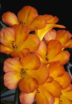 20160507190909-seth-kalmowitz_rhododendron
