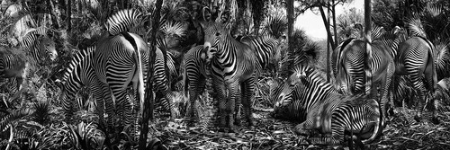 20160605170132-large-simen_johan-untitled-182-zebra
