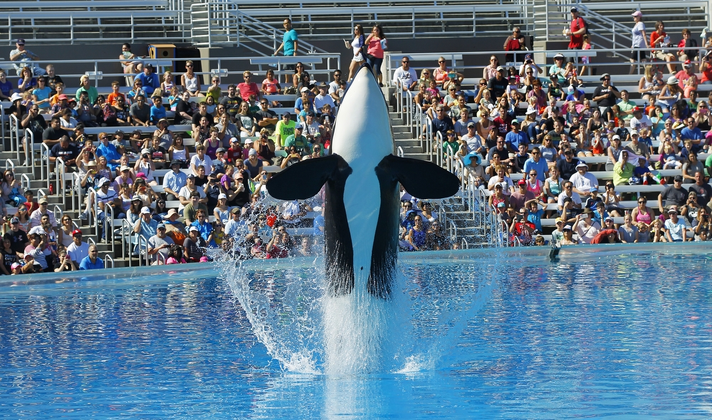 the captivity of killer whales and its detrimental effects on the creatures France bans captive breeding of dolphins, killer whales any of the giant sea creatures in captivity after its current any detrimental effects to aquatic.