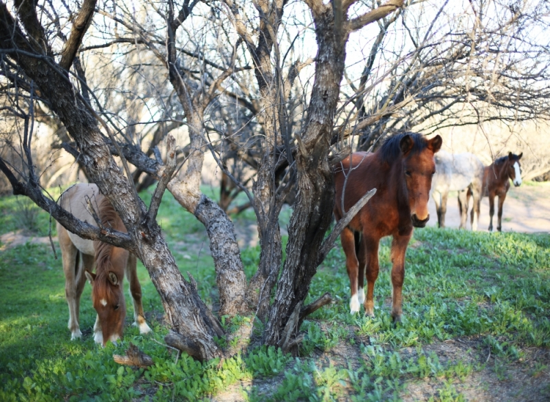 The uncertain fate of the Salt River horses