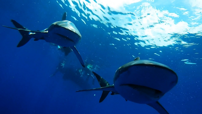 maki-sharks