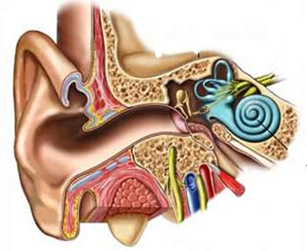 a visual diagram of the inner and outer ear