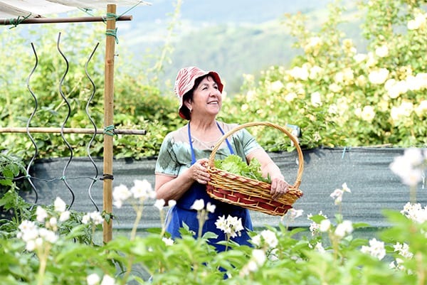 happy woman collecting cabbages in her green garden