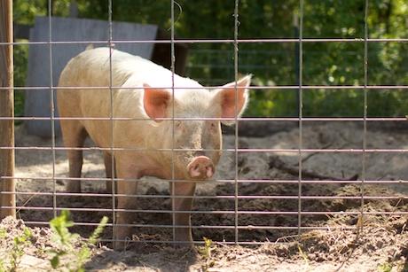 hog in pen