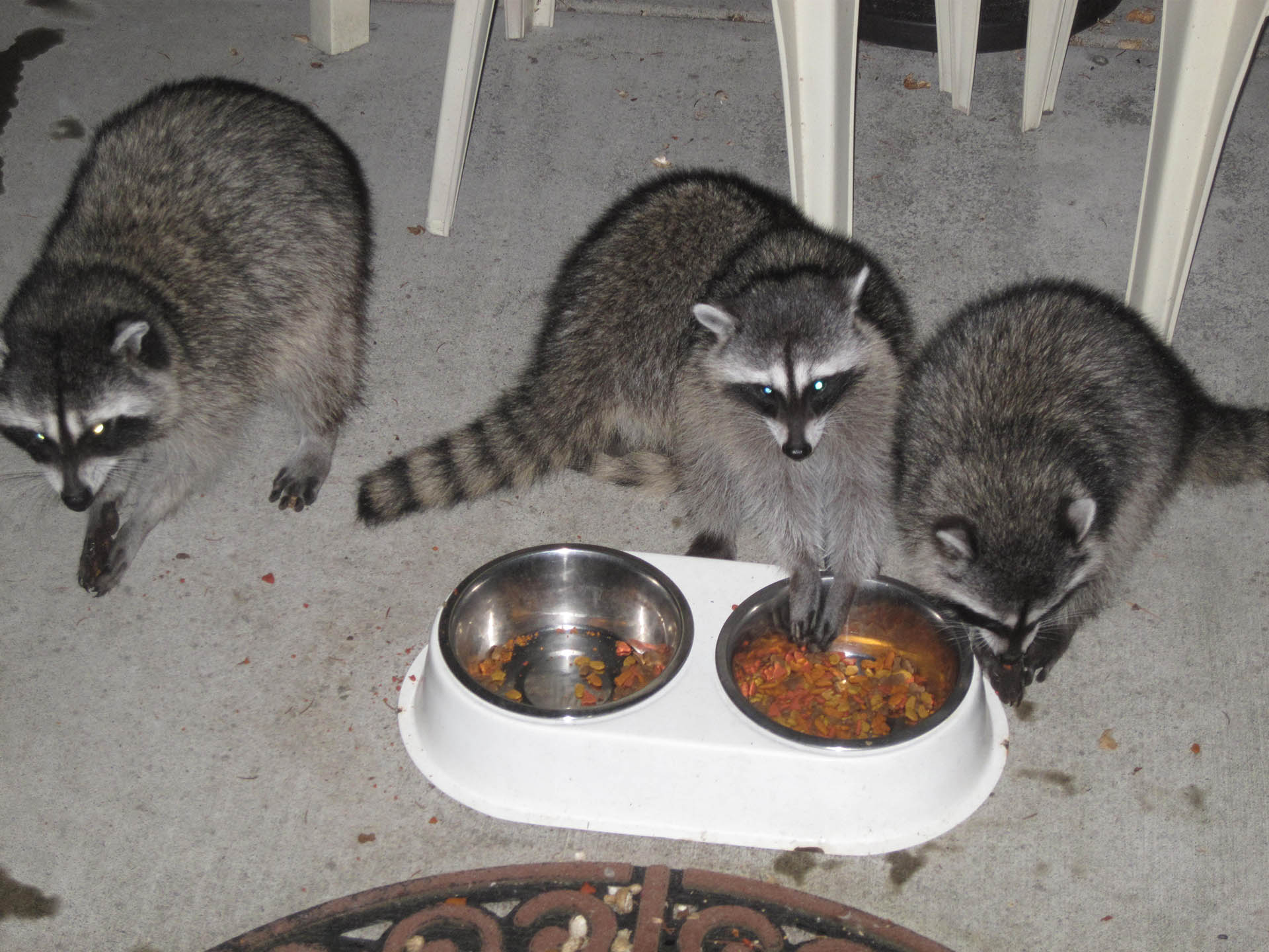 Raccoons