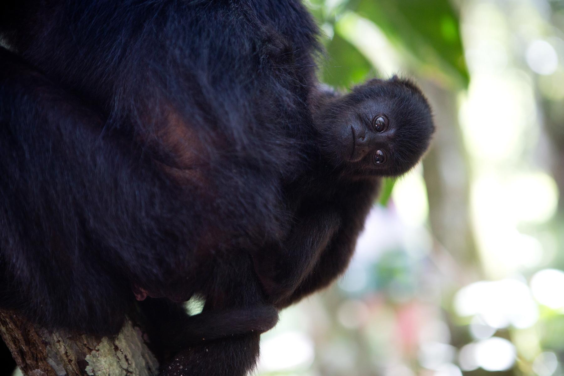 Howler Monkeys // Community Baboon Sanctuary // Belize