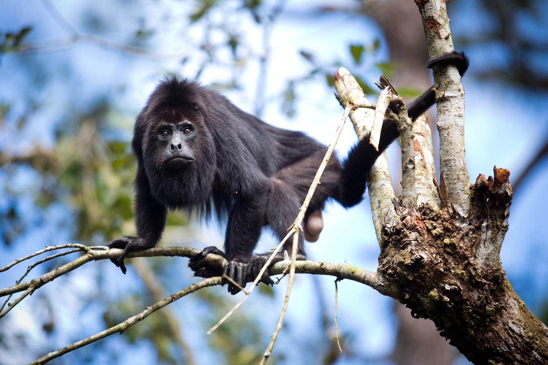 Howler Monkeys // Belize Zoo // Belize