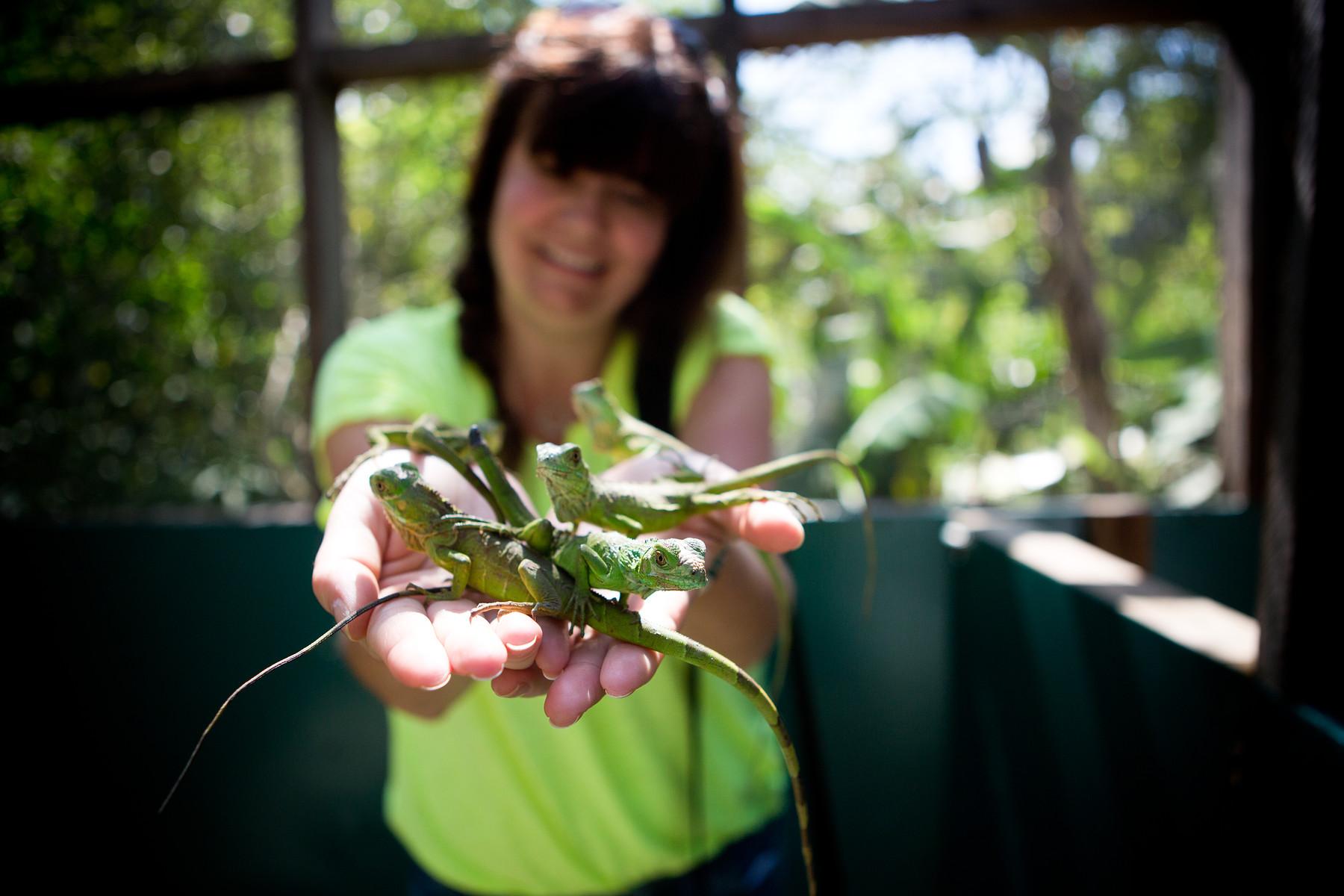 Green Iguana Conservation Project // San Ignacio // Belize