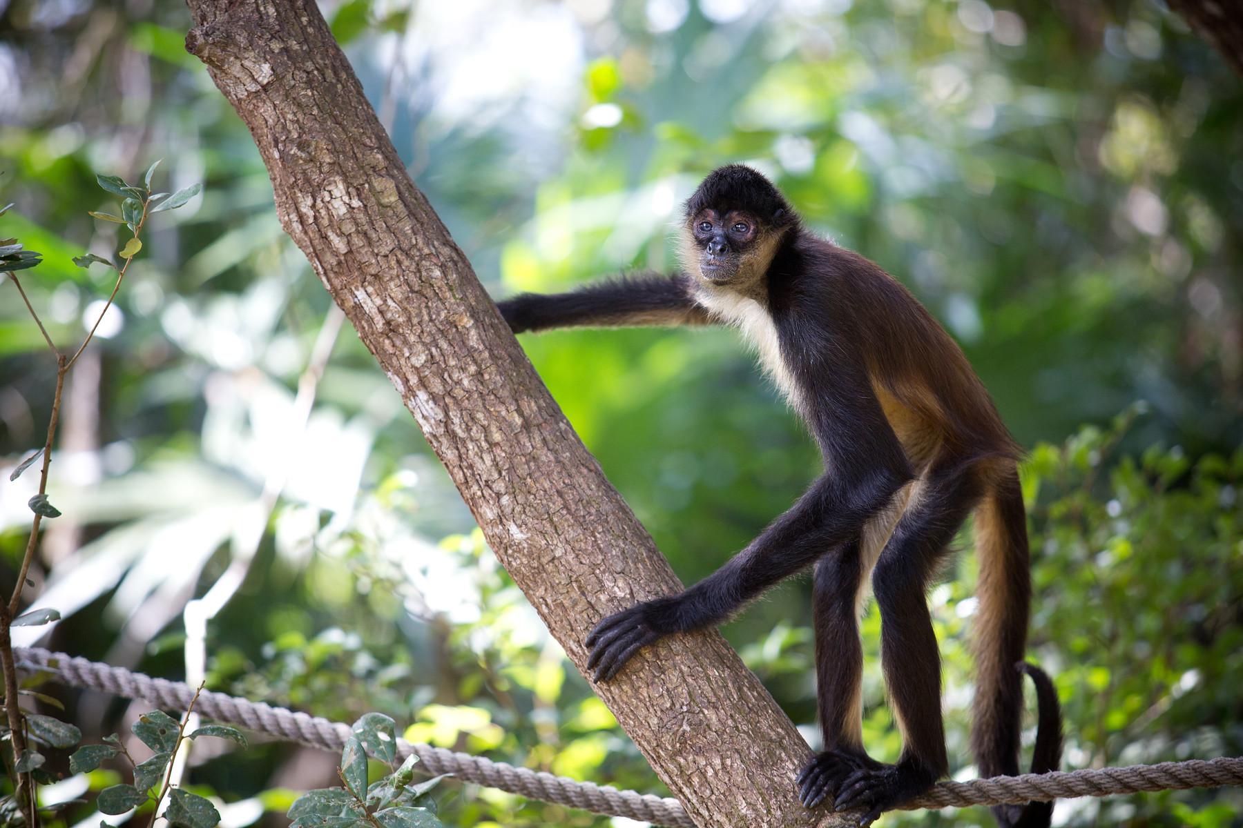 Spider Monkeys // Belize Zoo // Belize