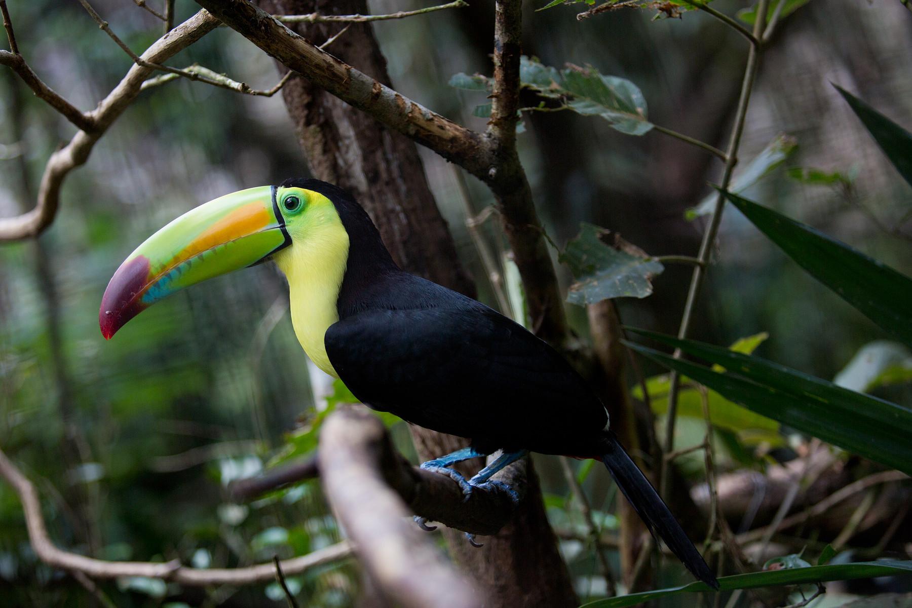 Tucan // Belize Zoo // Belize