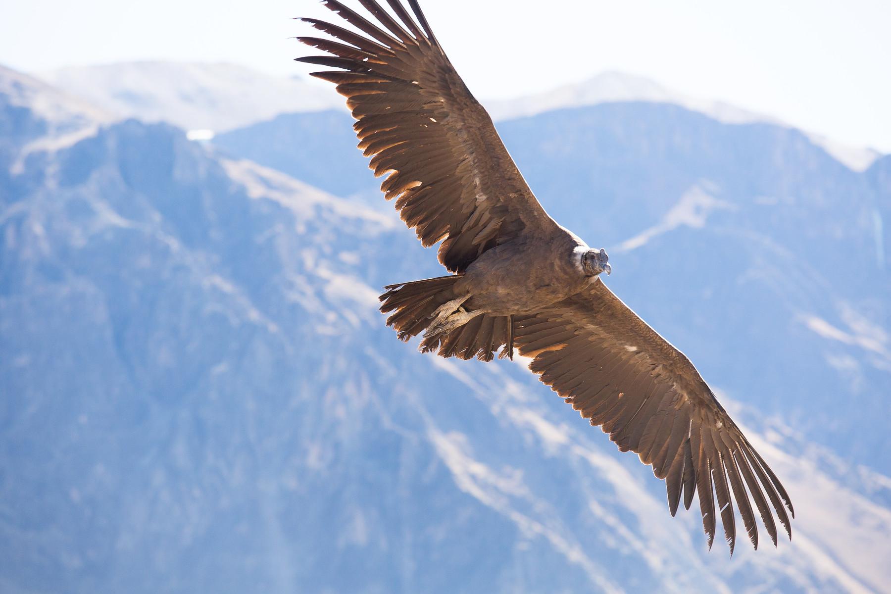 Andean Condor // Colca Canyon // Peru