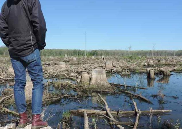 Clear-cut of wetland forest in North Carolina. The wood is used to make pellets for biomass-burning power stations in Europe Kenneth Richter