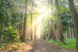 Beautiful forest with sunlight streaming through the trees