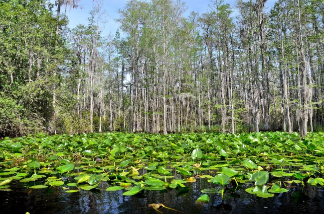 Okefenokee Lily Pads Large