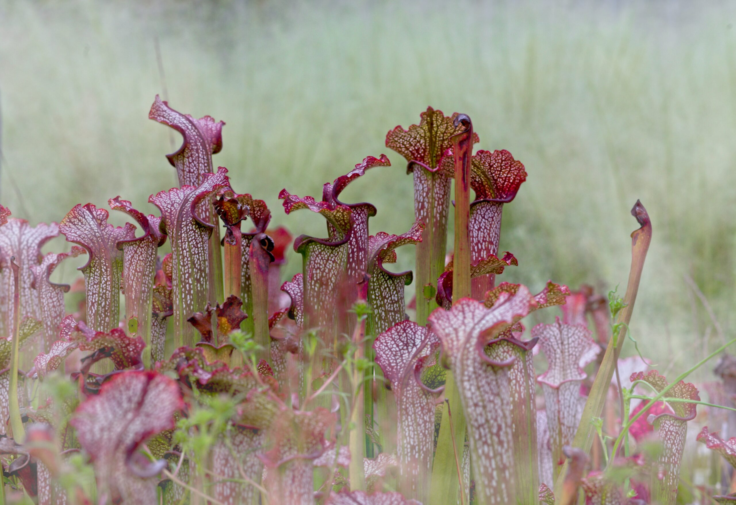 a clump of pitcher plants, found exclusively in wetland forests