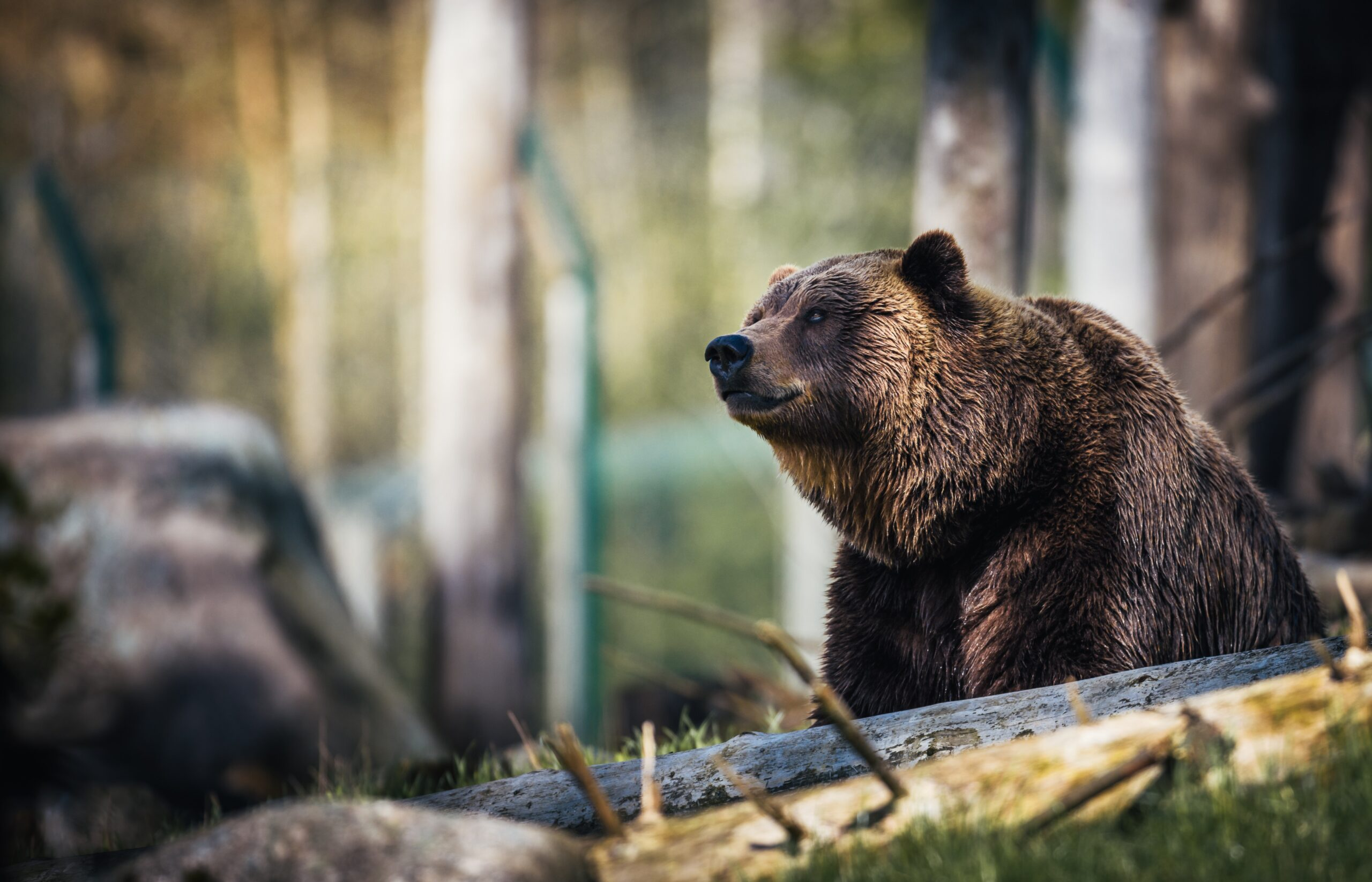 proforestation: A brown bear rests in a forest