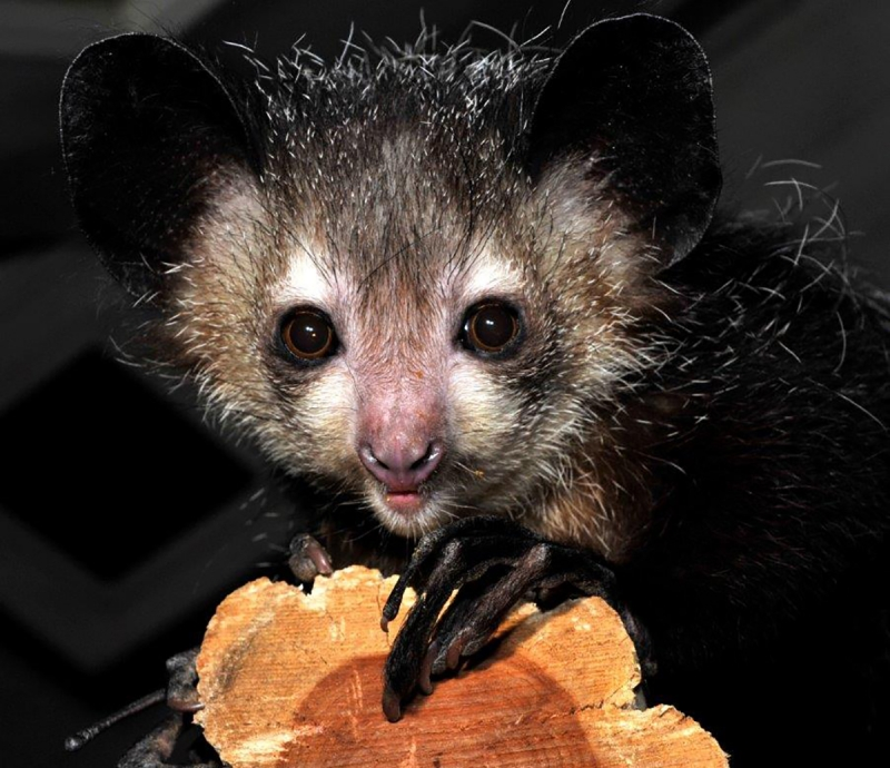 Four aye-aye lemurs died last October because of toxins in avocados that they were fed.