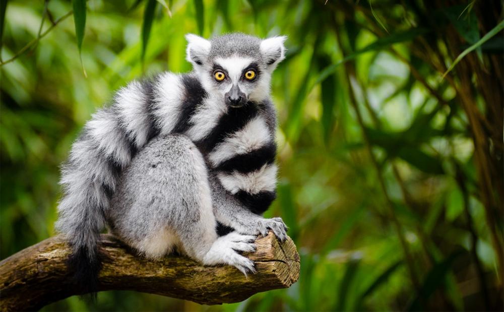 lemur_copy
