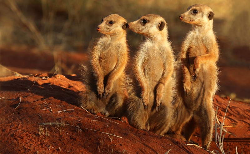 The research team will be looking at meerkat genetics and how they change during the course of the animals' social development.