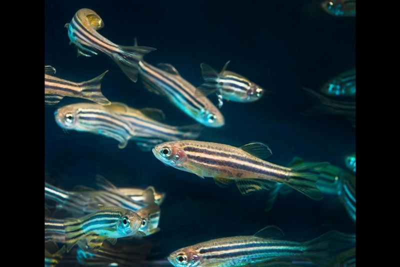 Zebrafish are model organisms to study because they have similar genetic structure to humans.