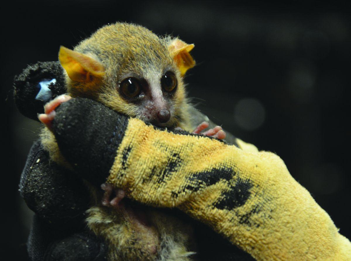 Lemurs_-_SophieTurner02