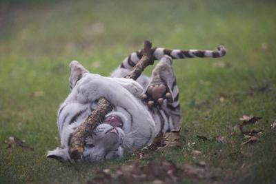 Arbuckle White Tiger Cub on back