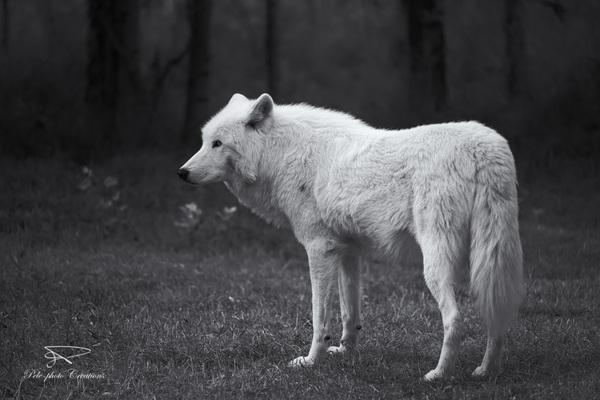 Lone White Wolf II