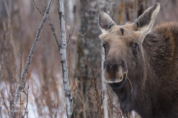I'm Just a Cute Bull Moose Calf with Bushy Eyebrows