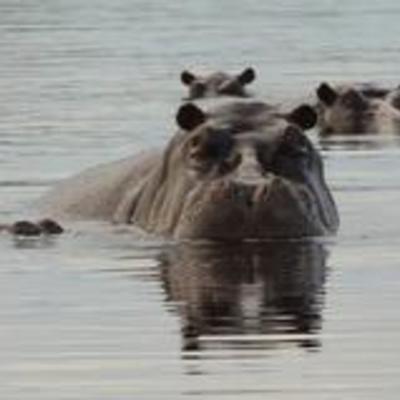 hippo pod, Okavango delta