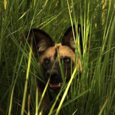 Wild dog in the marsh