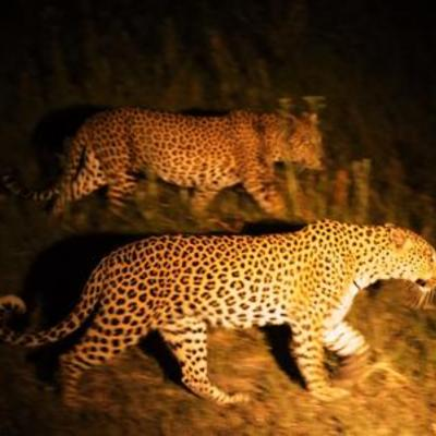 Night leopards