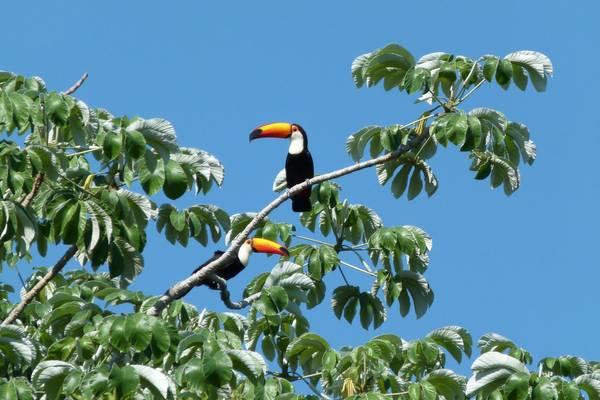 Tukane im Pantanal