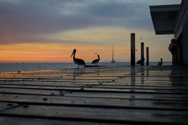 Pelicanos locales