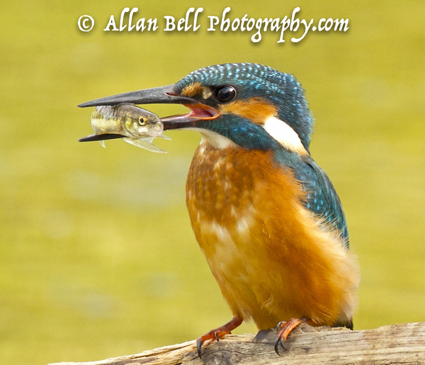 Kingfisher - Juvenile