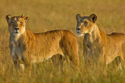 Lionesses  Masai Mara, Kenya