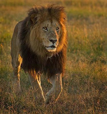 Lion Masai Mara, Kenya