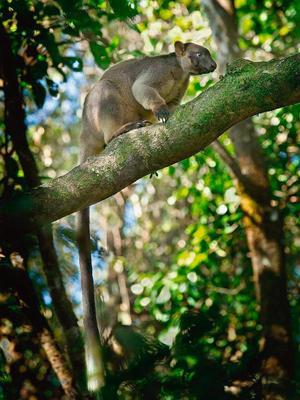 Lumholtz Tree Kangaroo  Atherton Tablelands, Queensland