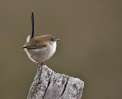 Juvenile male Superb Fairy-wren in eclipse plumage Wauchope, NSW