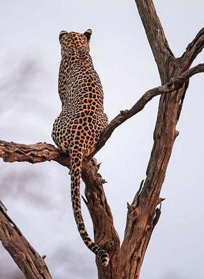 Leopard back view  Okavango Delta, Botswana