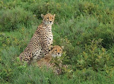 Cheetah and cub  Serengeti Plains, Tanzania