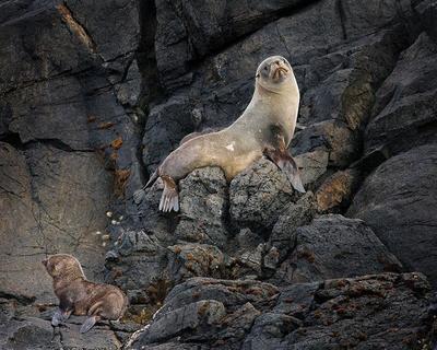 Fur Seal and cub  Stewart Island, New Zealand