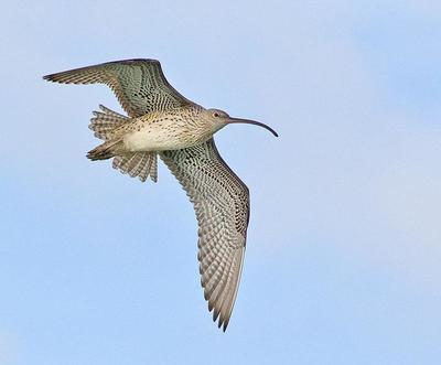 Whimbrel  Port Macquarie, NSW