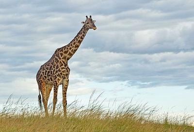 Young male Giraffe  Masai Mara, Kenya