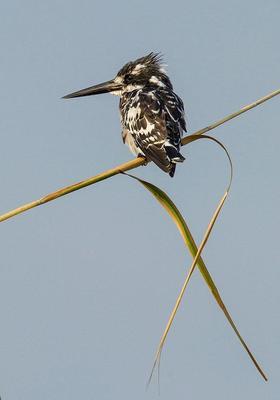 Pied Kingfisher  Chobe River, Botswana